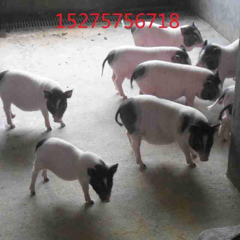 巴马香猪肉价格泰国迷你小香猪