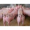 今日山东三元仔猪批发价格