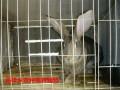 比利时兔山西比利时兔价格