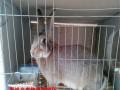 黑龙江比利时兔价格