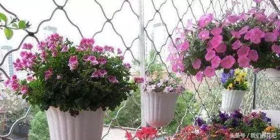 月季:喜欢半干状态,掌握好这些实用养花技巧知道,才能养得更好
