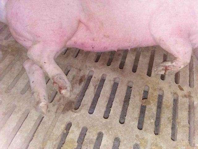 这三种秋季猪场常见的猪病,养猪人一定要学会防治方法