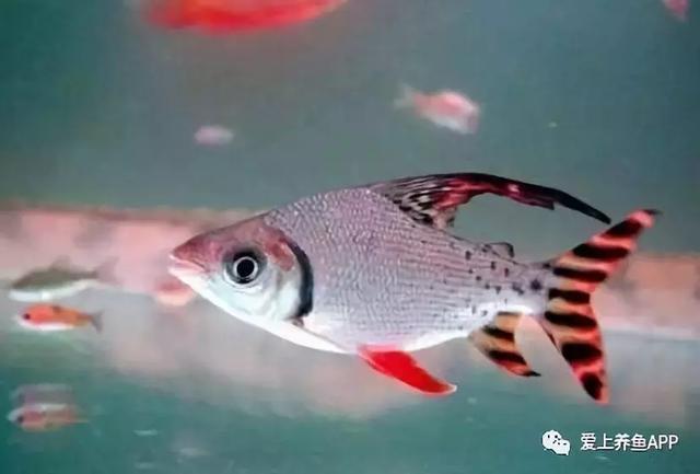 种不适合混养的观赏鱼,看看你犯了什么令人发指的错误图片