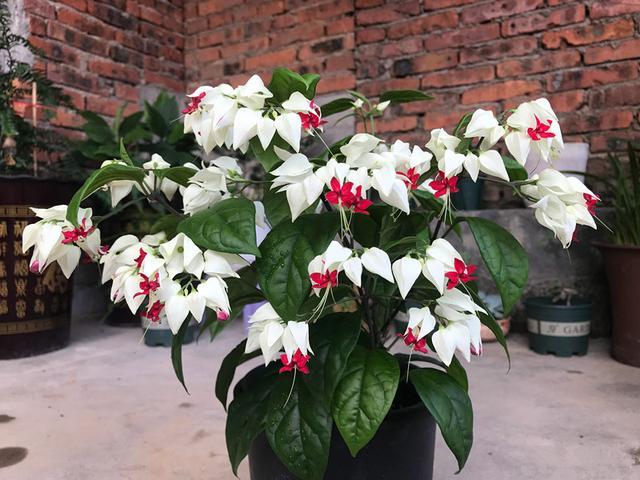 此款木本盆栽花卉,插土就能活,花朵美丽,开花勤快,还可做盆景