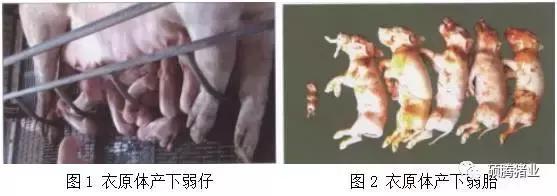 """""""瑞多康""""+""""瑞安欣""""双剑合一:猪场扫除衣原体和弓形体的法宝"""
