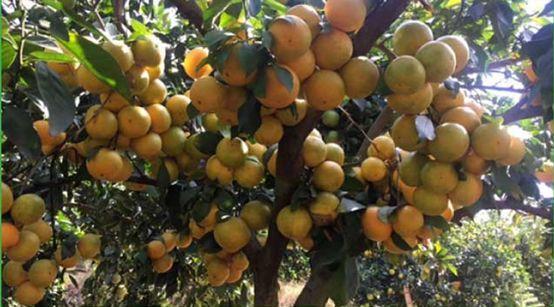 柑橘嫁接存活率怎么保证?做好这几步,换种、早结、丰产不是梦