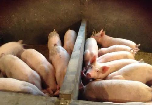 猪价早报,明日最新猪价东北地区再次领涨2019.5.16