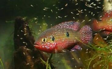红宝石鱼和迷你鹦鹉在繁殖能力上有的一拼,它们谁能胜出呢