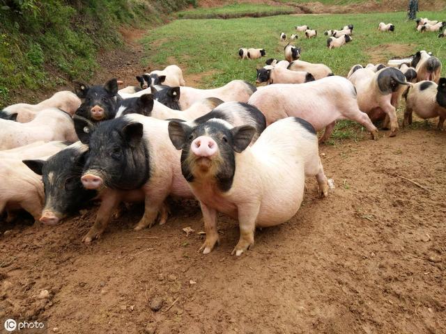 想要饲养香猪致富,新手养香猪的注意事项