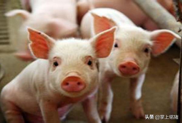 11月份是猪水肿病高发期 注意防控