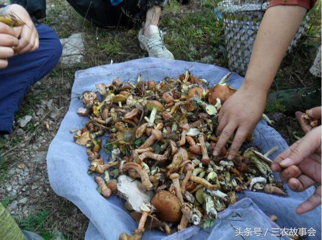 朝阳农村大山里的土特产,日本人当宝贝,农民舍不得吃