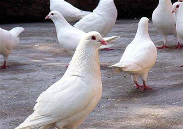 在养殖鸽子中有什么样的注意事项以及技巧