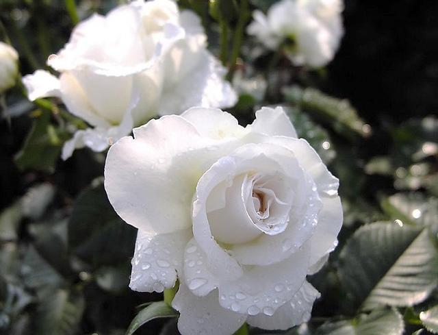 蔷薇又开了