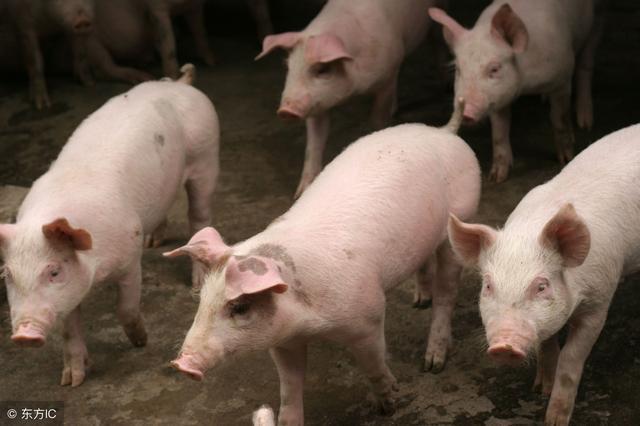 2019年猪价还会上涨吗?能达到多少钱一斤?
