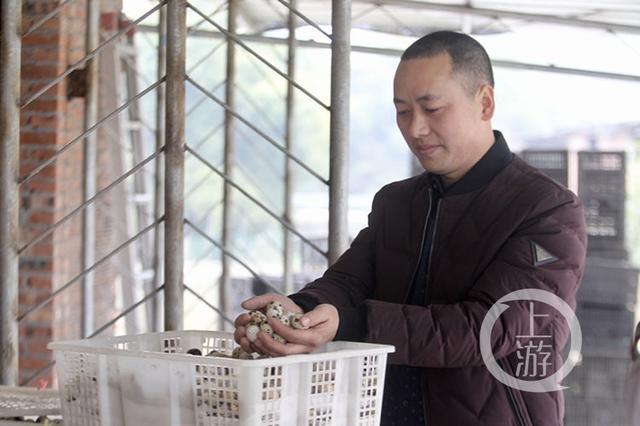 网络媒体走转改丨放弃温州皮鞋厂 涪陵小伙返乡养鹌鹑走上致富路