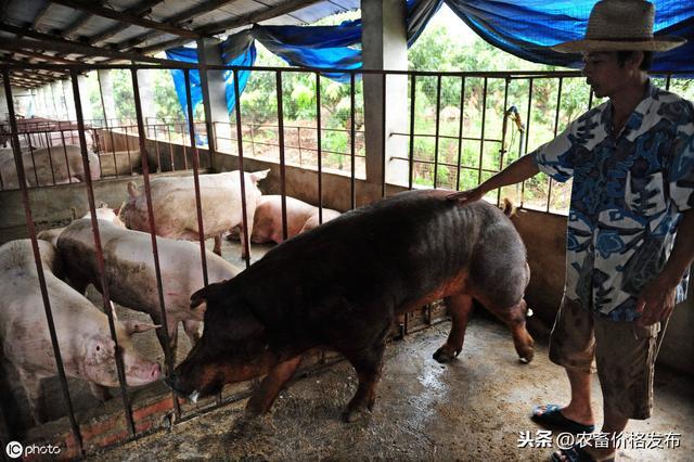 2019年10月11日全国各地区种猪价格行情