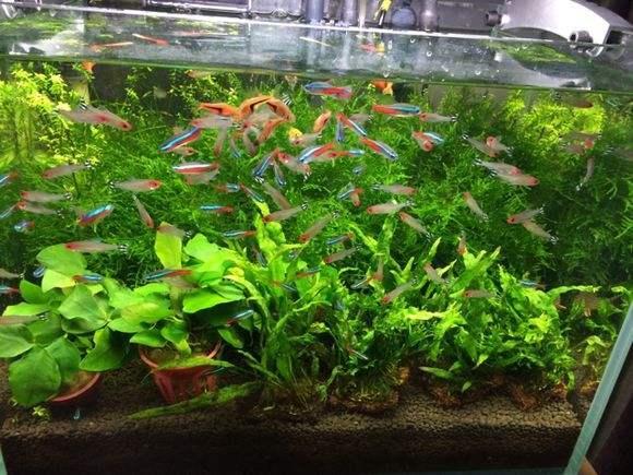 新手饲养观赏鱼草缸好还是裸缸好?