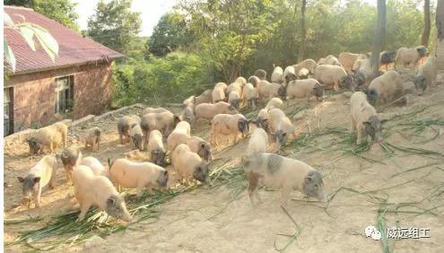 """猪肉里的""""名门贵族"""",你吃过吗?威远这个村就有"""
