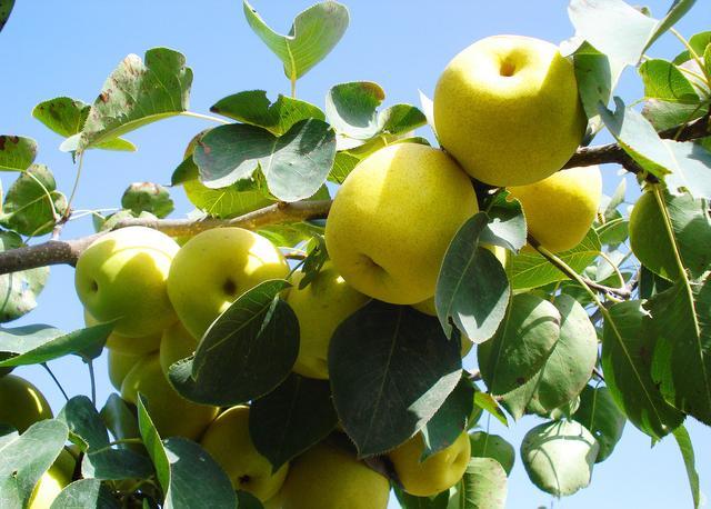 河北特产|春季吃梨正当时,赵县雪梨滋润你。