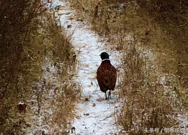 手机近距离实拍内蒙古大兴安岭雪中觅食的野山鸡