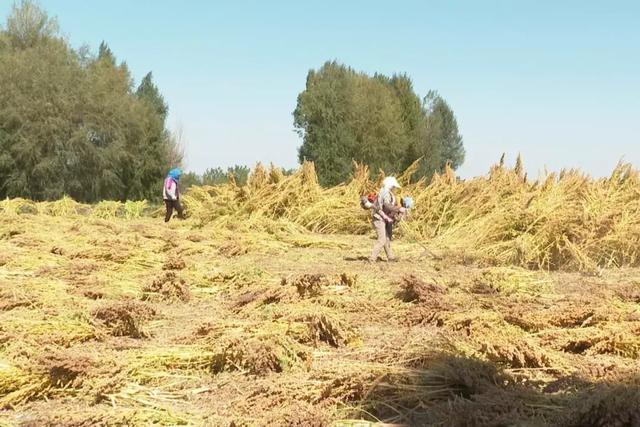 高台:藜麦喜获丰收 特色种植圆农民致富梦