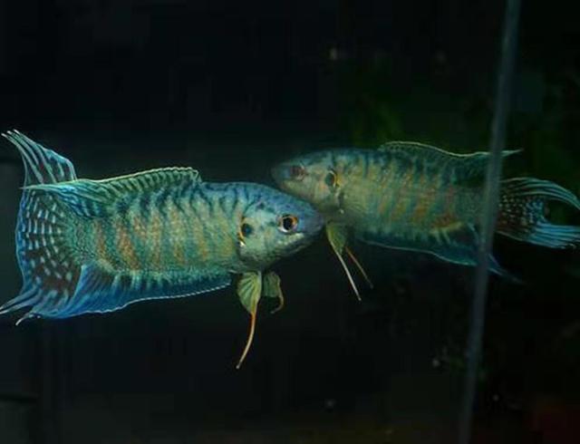 有哪些不用加温的冷水观赏鱼,可在草缸饲养,难道水草不用加温?