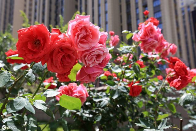 月季嫁接很难?教你一招,就能提高嫁接成活率,让植株开出多色花