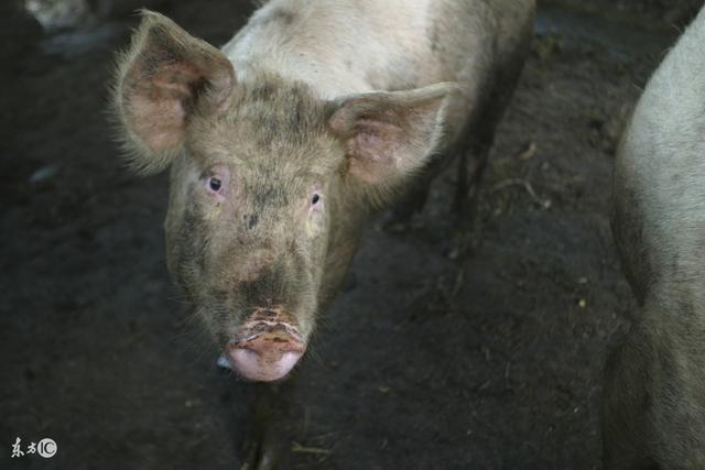 猪病预警;夏秋交接猪皮肤病!