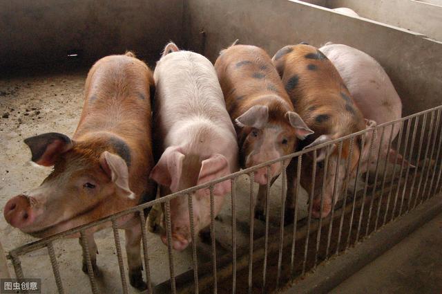 农村小伙欲放弃上海两套房,返乡养猪,靠谱吗?看养猪过来人咋说