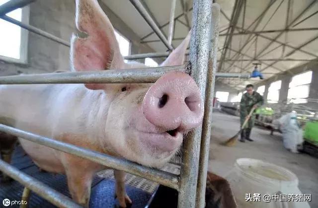 10月猪价超预期大涨的原因,养大猪,三元留种的短期影响