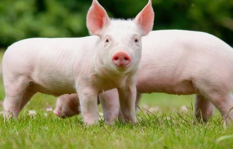 猪一打针就死,你遇到过吗?怎样减少对猪猪的用药和打针?