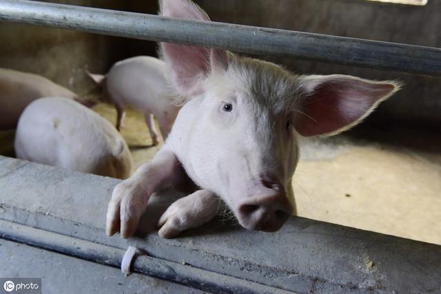 养猪致富乐开怀——记阳高县鳌石乡榆林村姚保山