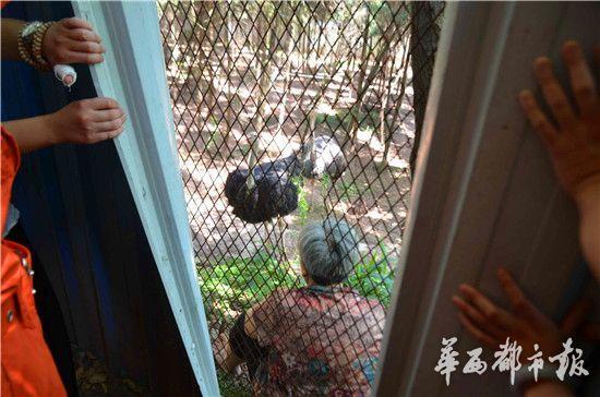 家养鸵鸟发怒伤人 资阳一老人被困铁丝网与鸵鸟对峙