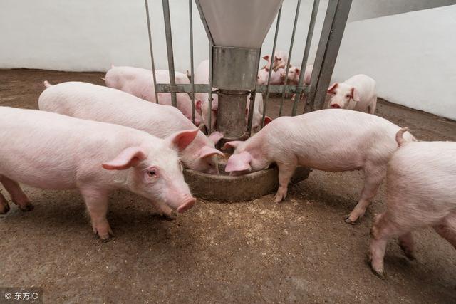 拌料、情况、养猪,知道人肌注饮水用卷边轮图片