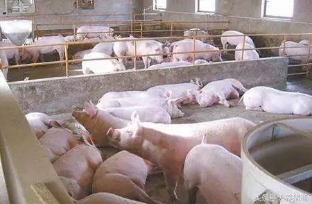 快速诊断5类猪病,一看便知!为你治疗节省时间!