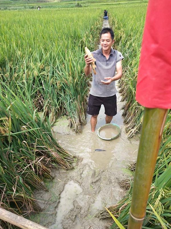 广西百色:高山稻田养鱼,开启脱贫致富新模式