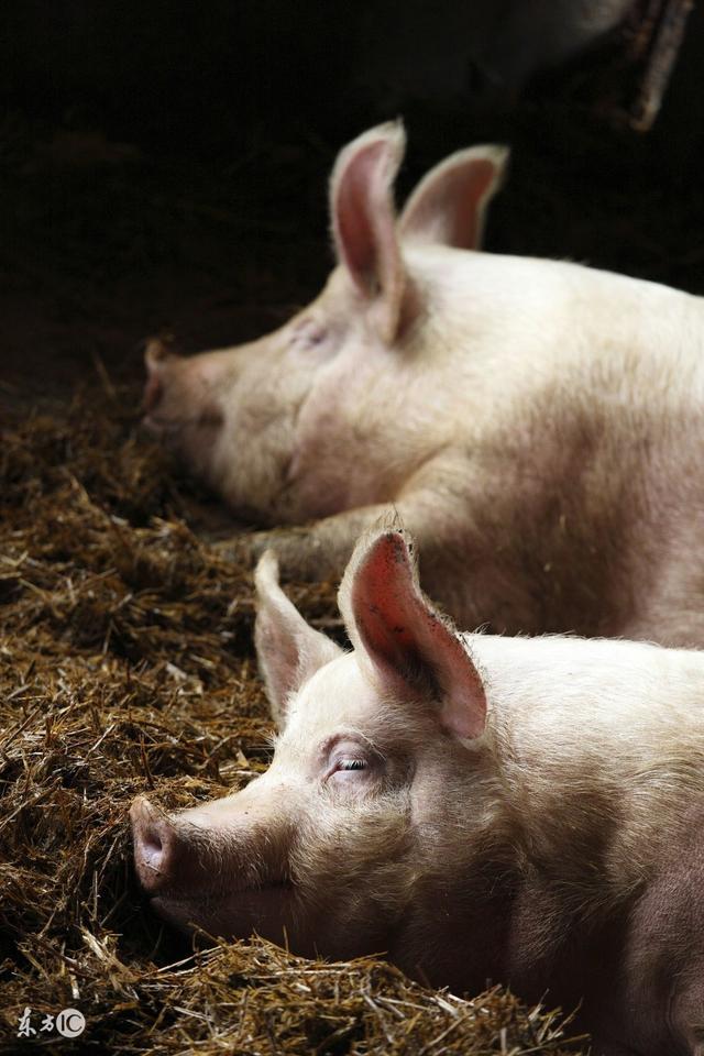 20号猪病预警;无疹块猪丹毒误诊为蓝耳,大猪死亡率高!
