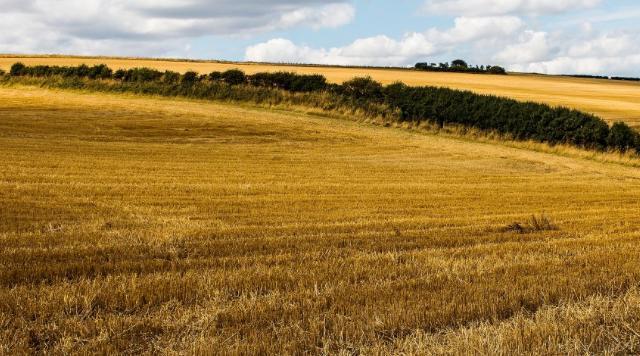 政策性小麦拍卖重启 或影响麦价运行(附10.9日小麦拍卖结果)