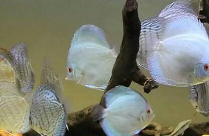 以下这些品种的观赏鱼,大家感觉哪一种最难饲养?