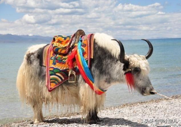 西藏常见的牦牛,你了解它么?