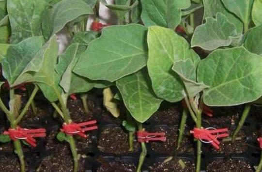 茄子如何嫁接?选择好适宜的砧木很关键,这些细节也要注意