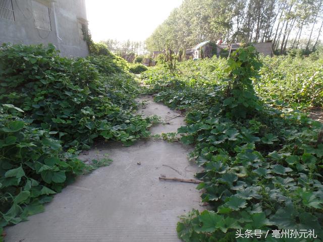 亳州农村希罕的土特产之梅斗角