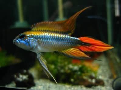 赏鱼|短鲷:最漂亮,最爱臭美,最适合老手挑战的观赏鱼