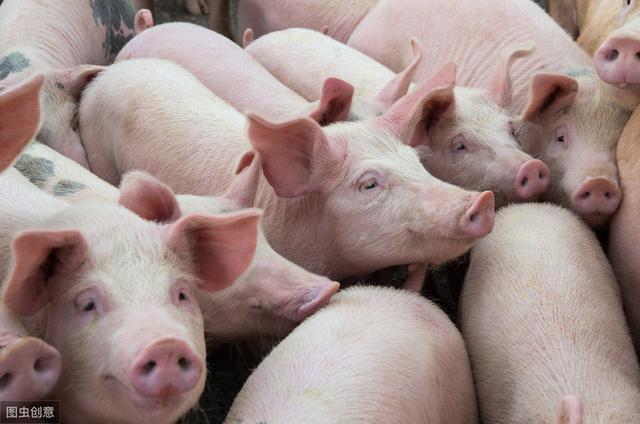 养猪生产中需要特别注意的六大误区