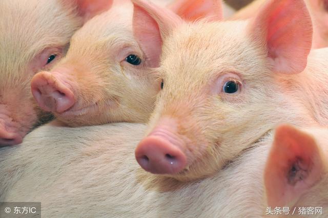 猪客网:猪场防流感你能做到位吗