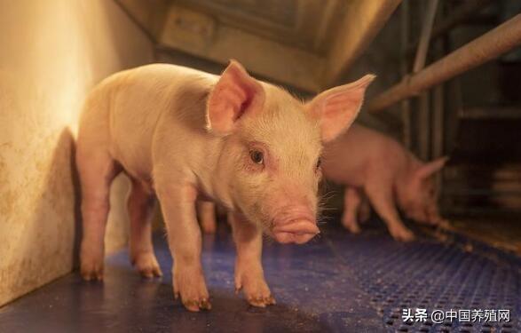 贵阳计划三年内新增生猪40万头