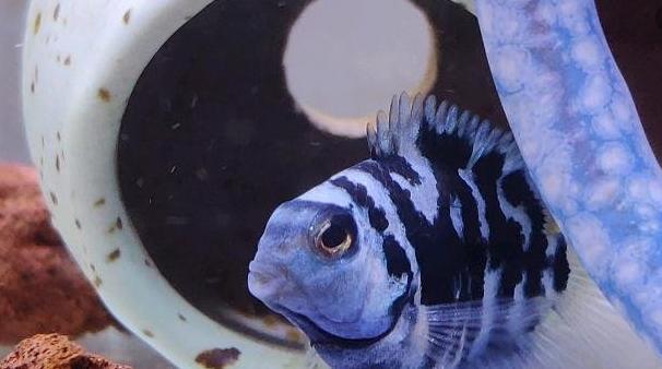关于迷你鹦鹉繁殖后期饲养问题,只要掌握这几点,让你的鱼缸爆满