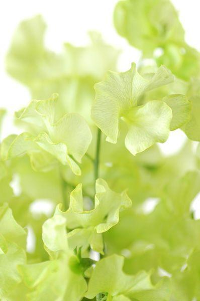 香豌豆 植物图鉴