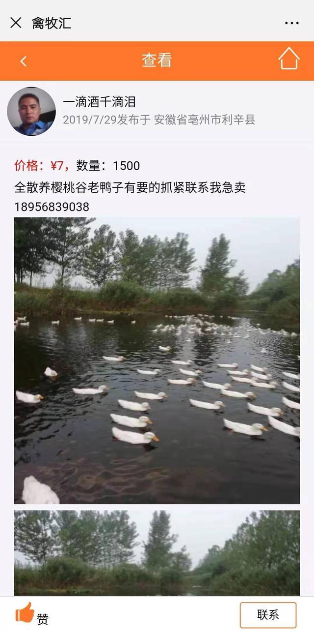 安徽亳州养殖户急售1500只樱桃谷鸭,价格优惠仅7元,收货的赶紧