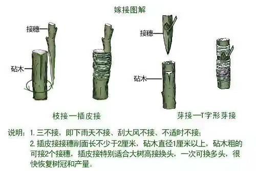 果木嫁接常见几种方法图解